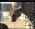 cheetah on car