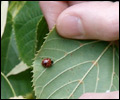 Ladybird on Lime Leaf